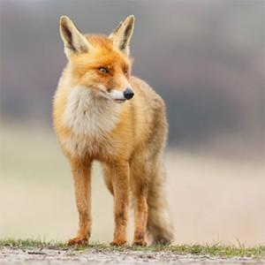 Fox-Australia