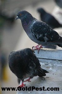 Pigeons  Control ipswich