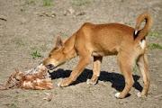 Wild dog-dingo