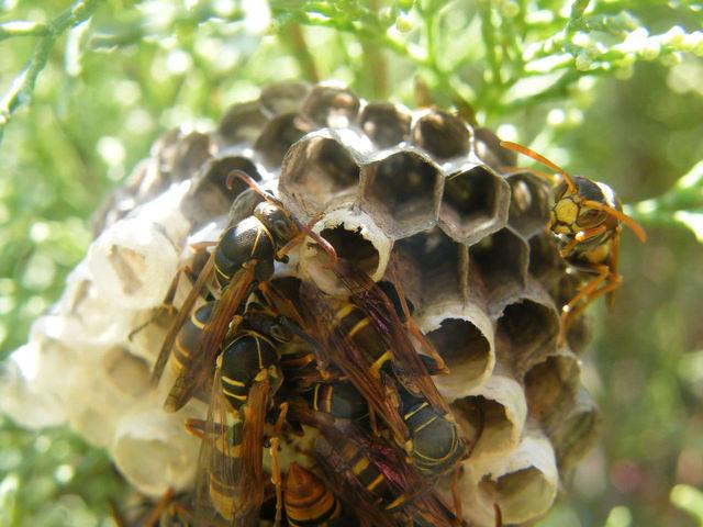 wasp-nest-1-1164778-640x480