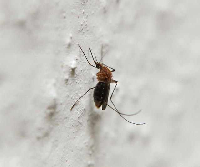 mosquito pest control gold coast
